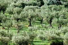Metodi tradizionali ed innovativi di lotta alla mosca olearia dell'olivo